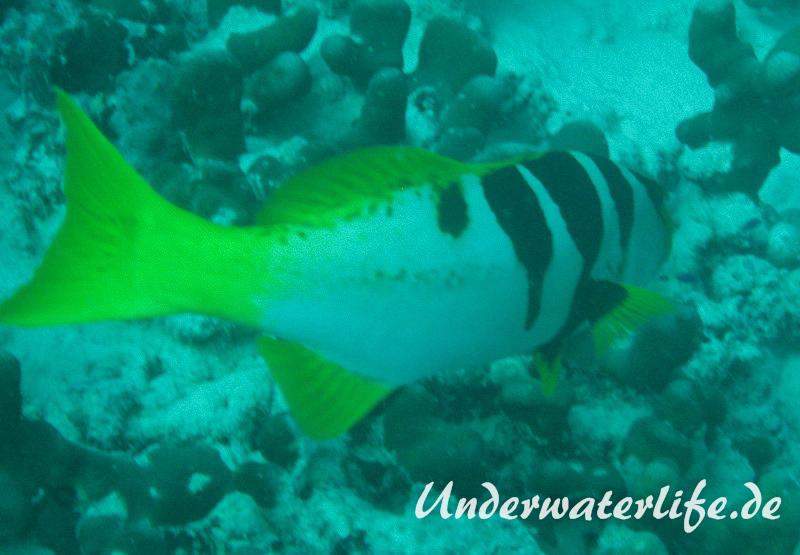 Sattel-Forellenbarsch_subadult-Malediven-2013-02