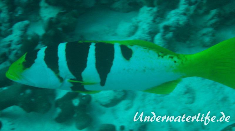 Sattel-Forellenbarsch_subadult-Malediven-2013-03