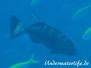 Sattel-Forellenbarsch (Plectropomus laevis)