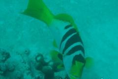 Sattel-Forellenbarsch_subadult-Malediven-2013-01