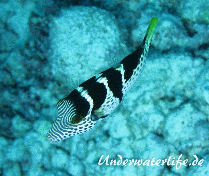 Sattel-Spitzkopfkugelfisch_adult-Malediven-2013-01