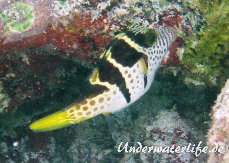 Sattel-Spitzkopfkugelfisch_adult-Malediven-2013-02