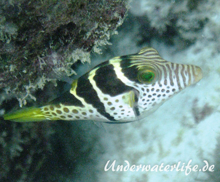 Sattel-Spitzkopfkugelfisch_adult-Malediven-2013-03