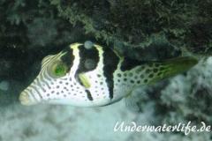 Sattel-Spitzkopfkugelfisch_adult-Malediven-2013-04