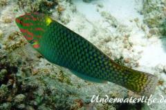 Schachbrett-Junker-Maennchen_adult-Malediven-2013-01
