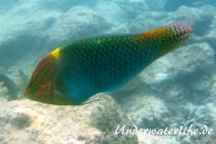 Schachbrett-Junker-Maennchen_adult-Malediven-2013-02