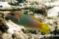 Schachbrett-Junker-Weibchen_adult-Malediven-2013-01