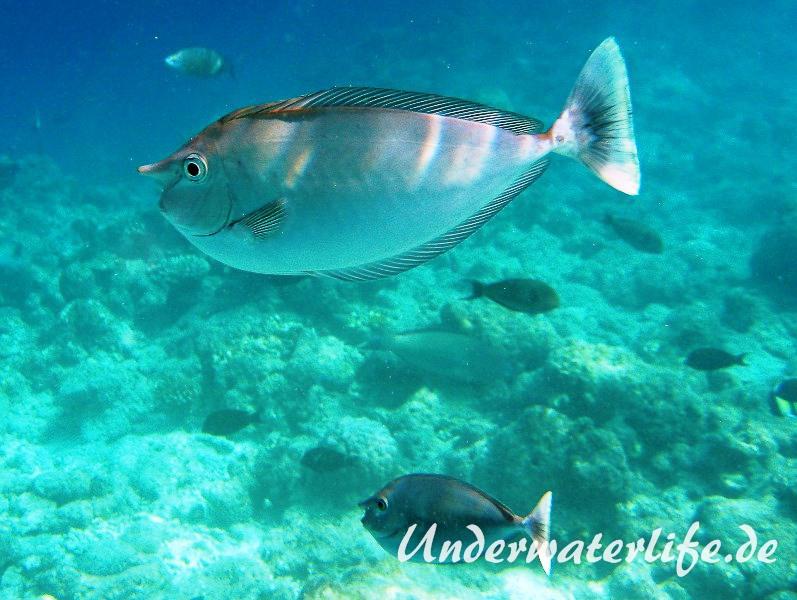 Schaerpen-Nasendoktorfisch_adult-Malediven-2013-01