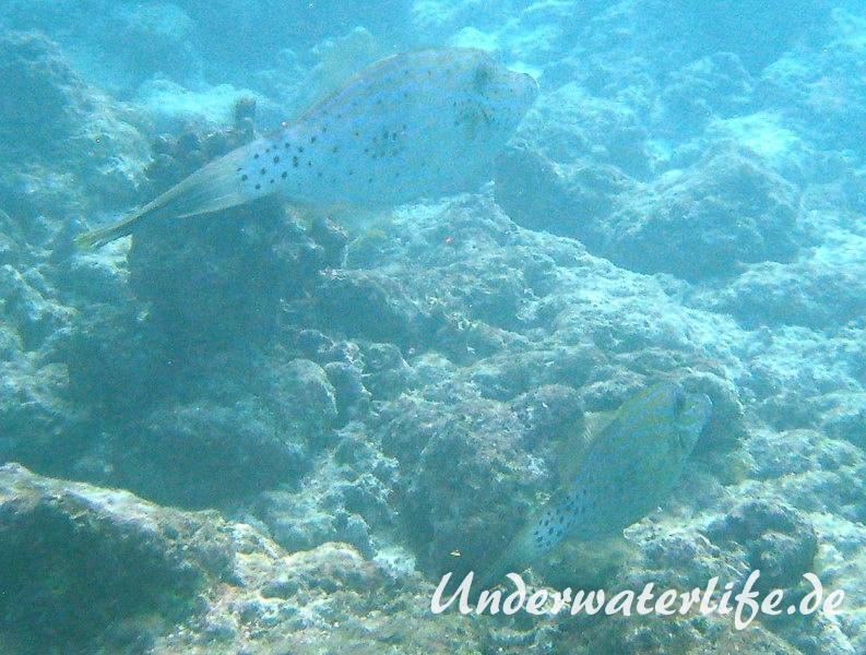 Schrift-Feilenfisch_adult-Malediven-2013-01