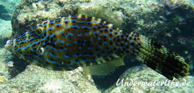 Schrift Feilenfisch_adult-Karibik-2014-001