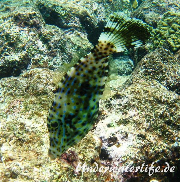Schrift Feilenfisch_adult-Karibik-2014-004