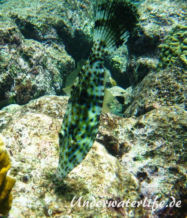 Schrift Feilenfisch_adult-Karibik-2014-005