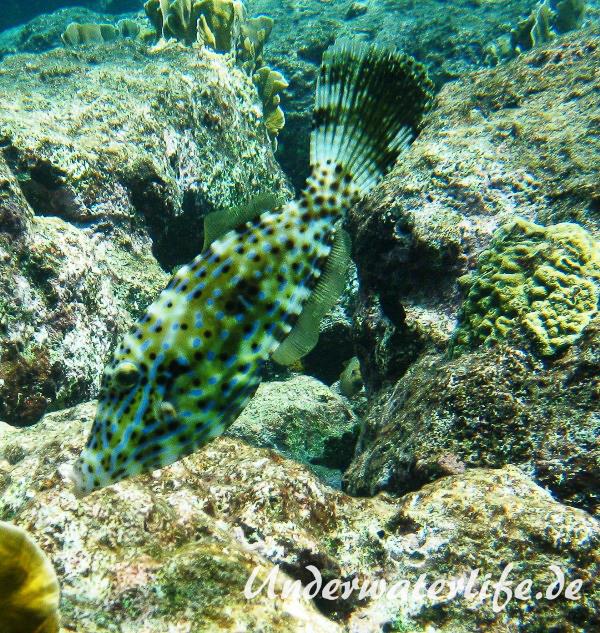 Schrift Feilenfisch_adult-Karibik-2014-006
