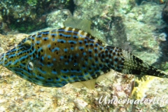 Schrift Feilenfisch_adult-Karibik-2014-003