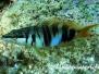 Mittelmeer Sägebarsche-Serranidae-Sea basses