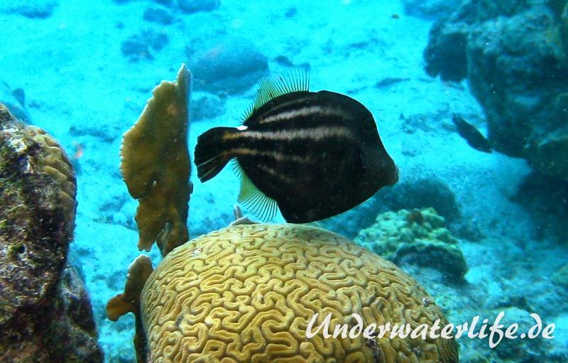 Schwarzfleckfeilenfisch_adult-Karibik-2014-003