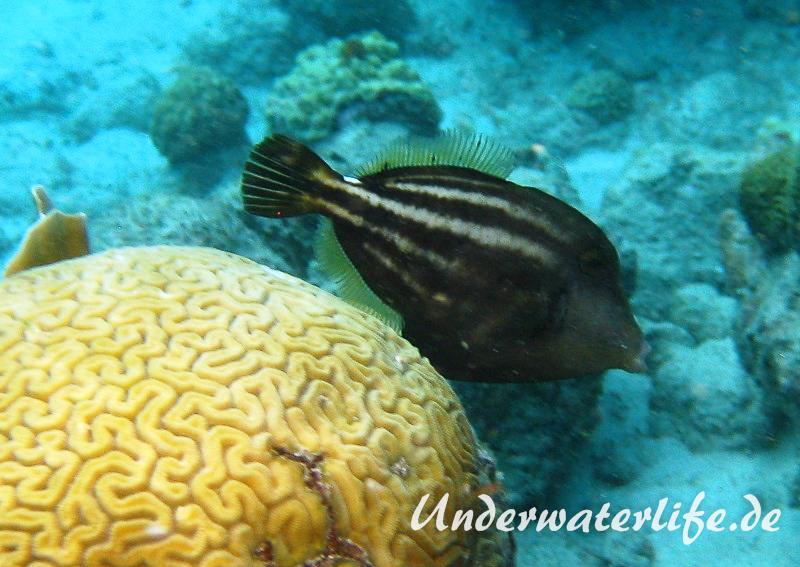 Schwarzfleckfeilenfisch_adult-Karibik-2014-004