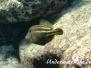 Schwanzfleckfeilenfisch (Cantherhines pullus)