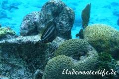 Schwarzfleckfeilenfisch_adult-Karibik-2014-002