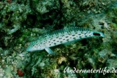 Schwarzfleck-Sandbarsch_adult-Malediven-2013-01