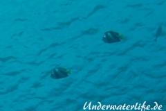 Schwarm-Wimpelfisch_adult-Malediven-2013-01