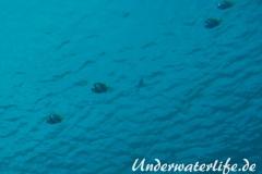 Schwarm-Wimpelfisch_adult-Malediven-2013-02