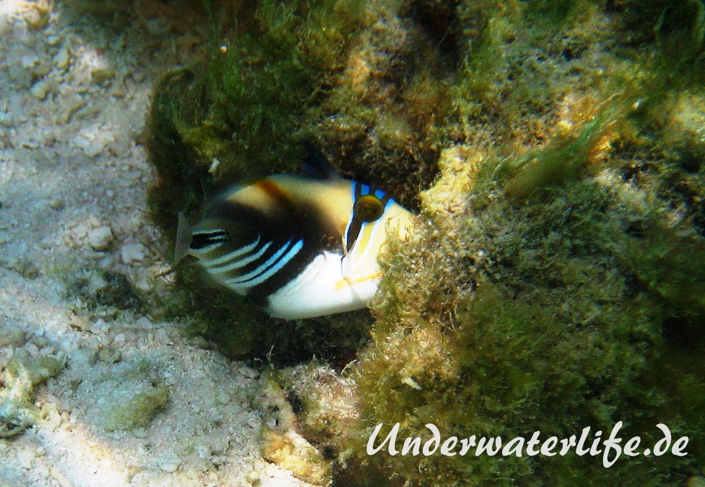 Schwarzbauch-Picasso Drueckerfisch_adult-Malediven-2013-02