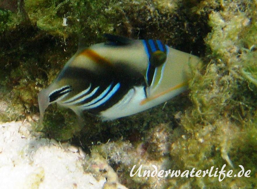 Schwarzbauch-Picasso Drueckerfisch_adult-Malediven-2013-03