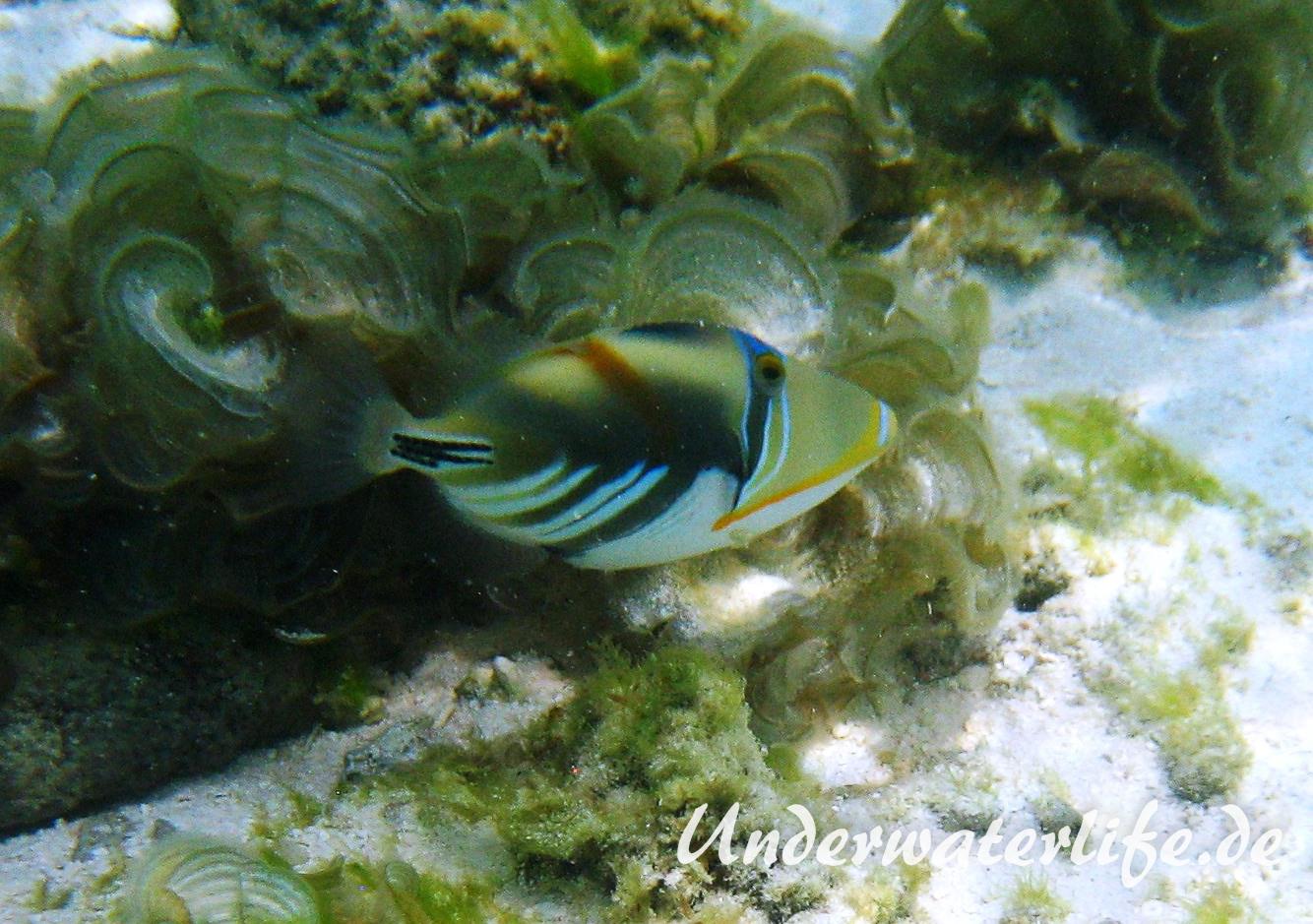 Schwarzbauch-Picasso Drueckerfisch_adult-Malediven-2013-05