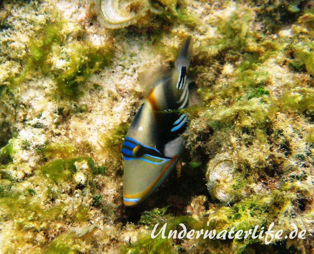 Schwarzbauch-Picasso Drueckerfisch_adult-Malediven-2013-07