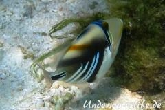 Schwarzbauch-Picasso Drueckerfisch_adult-Malediven-2013-01