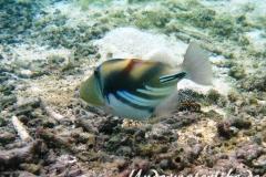 Schwarzbauch-Picasso Drueckerfisch_adult-Malediven-2013-04