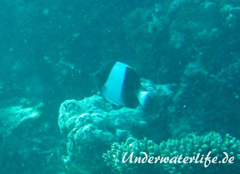 Schwarzer-Pyramiden-Falterfisch_adult-Malediven-2013-01