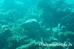 Schwarzer-Pyramiden-Falterfisch_adult-Malediven-2013-02