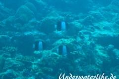 Schwarzer-Pyramiden-Falterfisch_adult-Malediven-2013-03