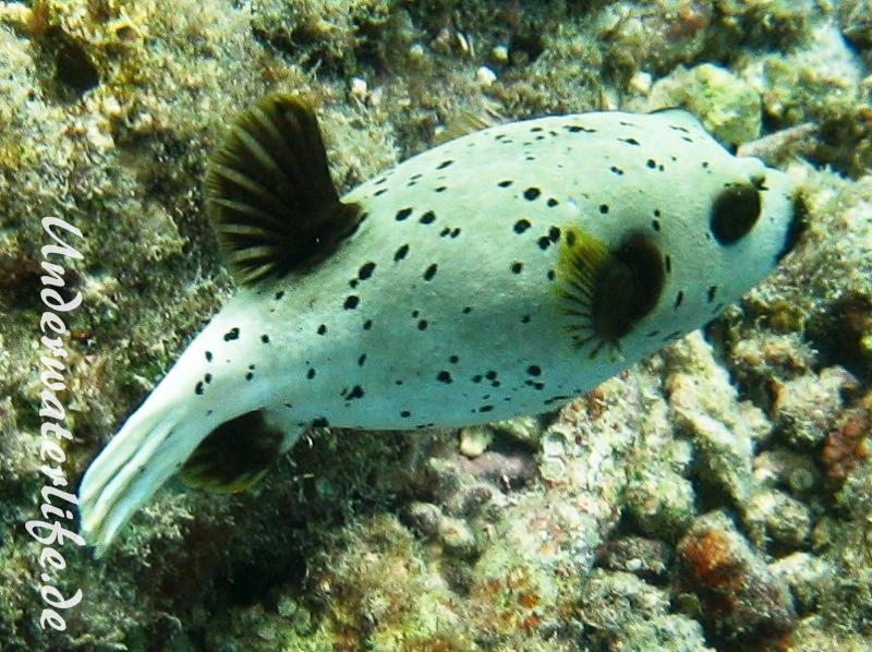 Schwarzflecken-Kugelfisch_adult-Malediven-2013-01