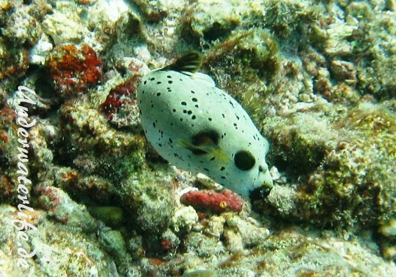 Schwarzflecken-Kugelfisch_adult-Malediven-2013-04