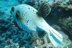 Schwarzflecken-Kugelfisch_adult-Malediven-2013-02