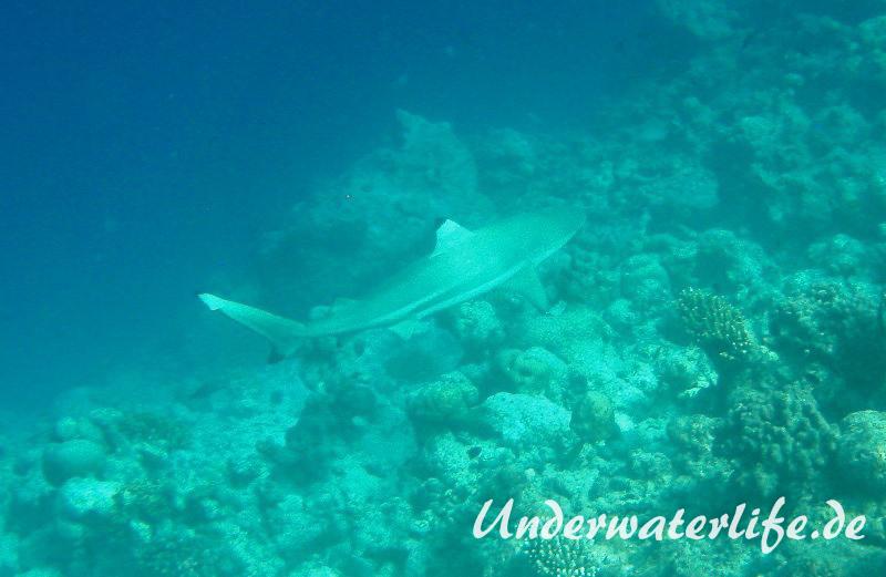 Schwarzspitzen-Riffhai_adult-Malediven-2013-01
