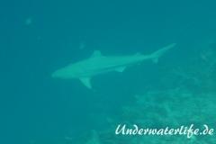 Schwarzspitzen-Riffhai_adult-Malediven-2013-02