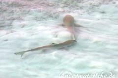 Schwarzspitzen-Riffhai_adult-Malediven-2013-04