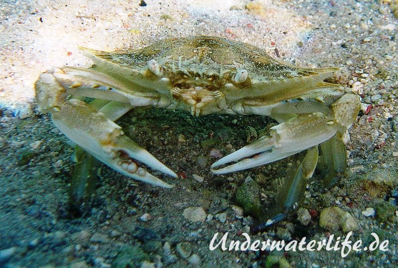 Schwimmkrabe_adult-Karibik-2014-001