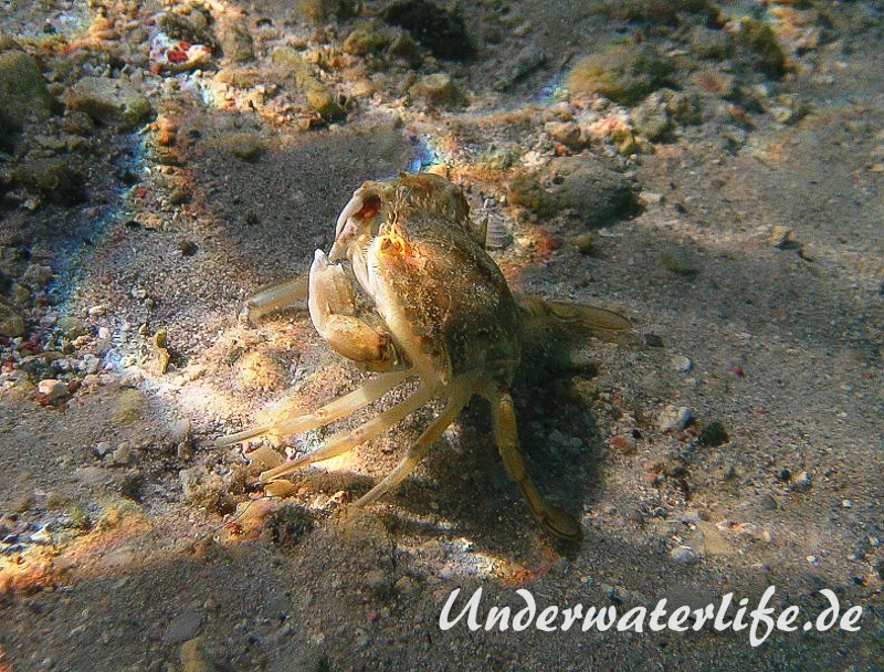 Schwimmkrabe_adult-Karibik-2014-002