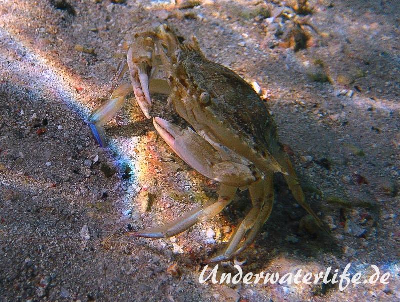 Schwimmkrabe_adult-Karibik-2014-003