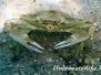 Schwimmkrabbe (Callinectes sapidus)