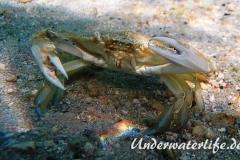 Schwimmkrabe_adult-Karibik-2014-004