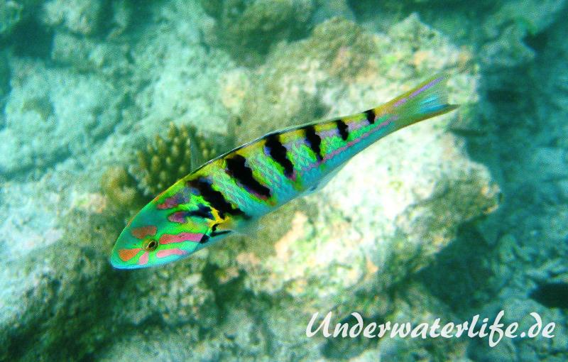 Sechsstreifen-Junker_adult-Malediven-2013-03