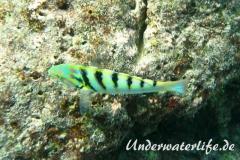 Sechsstreifen-Junker_adult-Malediven-2013-02