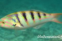 Sechsstreifen-Junker_adult-Malediven-2013-04