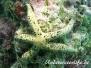 Seestern (Tamaria megaloplax)